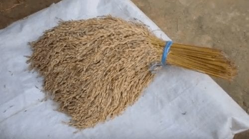 Bundle of harvested rice gathered by farmer.